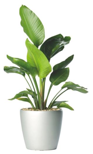 Strelizia Nicholii Bird Of Paradise Plant Texture Plants Indoor Plants Low Light