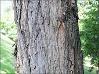 Black Locust Bark | Trees | Tree identification, Wood