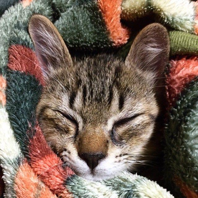 """""""、 ぬくぬくです てんちゃん、うさぎみたいね 、 She looks like a rabbit . 、 、  #cat #猫 #もふもふ #happy_pet #catsofinstagram #catstagram #ふわもこ部 #dogcat #子猫 #キジトラ"""""""