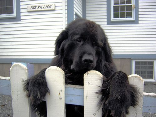 Newfie on a fence!!!! =)