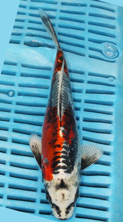 Koi For Sale Champion Nishikigoi Koi For Sale Koi Koi Fish