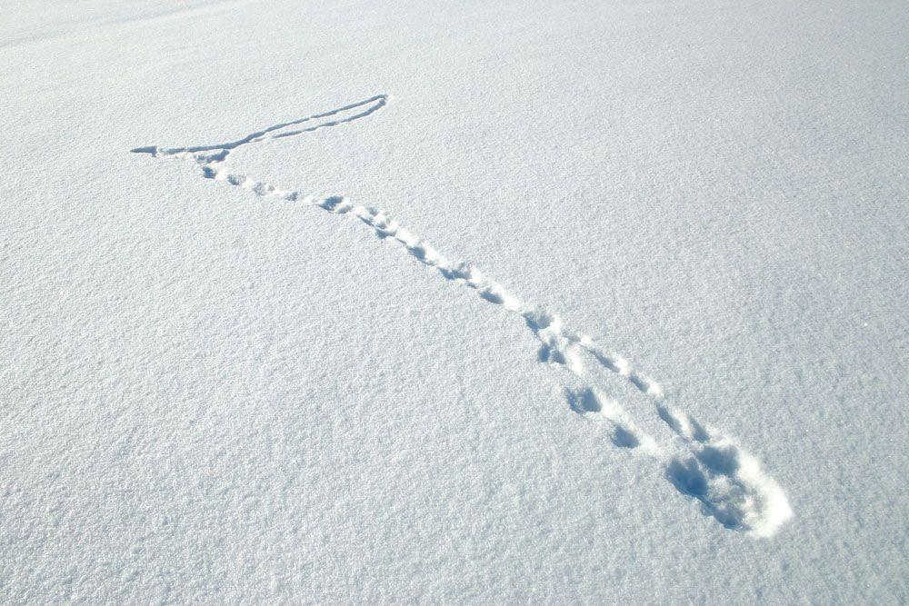 Lumikon jälkipainallus on tyypillinen, joskin hyvin pieni näätäeläimen jälki. Hyvissä oloissa jäljessä erottuu viisi varvasanturaa. Etukäpälän jäljessä näkyy usein ranneantura, mutta takakäpälän jälkeen kantapää ei piirry. Sisin varvas ei aina näy selvässäkään jäljessä. Lumikon jälkipainallukset ovat niin pienet, että yksittäiset polkuanturat eivät jätä jälkeä pehmeään lumeen. Laji tunnistetaan jäljen koosta. Lumikon etujalan jälki on 2–3 …