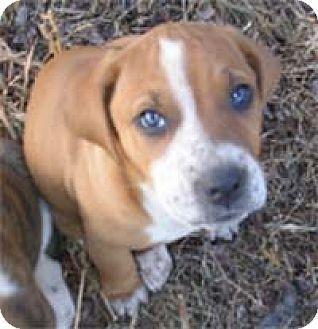 Chantilly, VA - Hound (Unknown Type)/Labrador Retriever Mix. Meet Cuddlies - Foxy, a dog for adoption. http://www.adoptapet.com/pet/17619430-chantilly-virginia-hound-unknown-type-mix