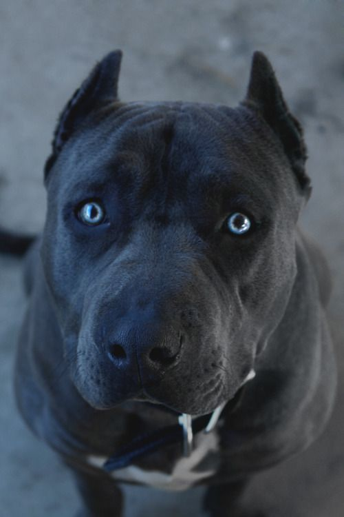 Desvre Dogs Pitbull Terrier Amazing Beasts