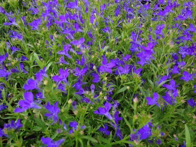 Lobelia Deep Blue Star Our Plants Annuals Plants Deep Blue