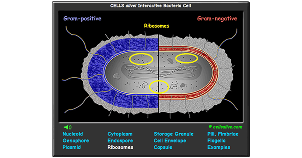 Interactive Bacteria Cell Model Cell model, Teaching
