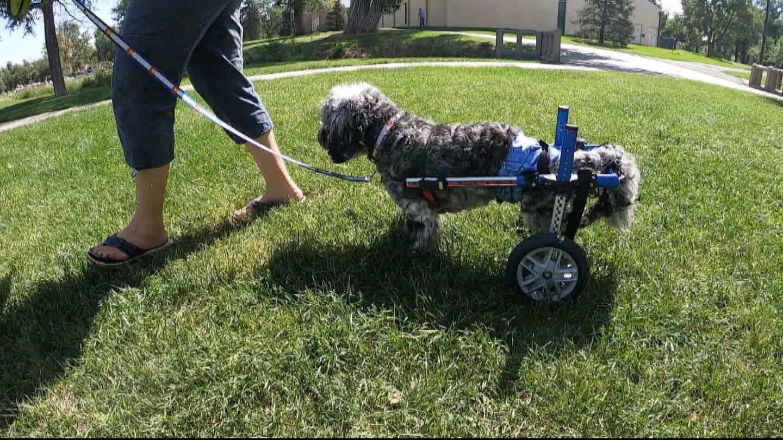 'Broken In Body, Not Broken In Spirit' Comfort Dog