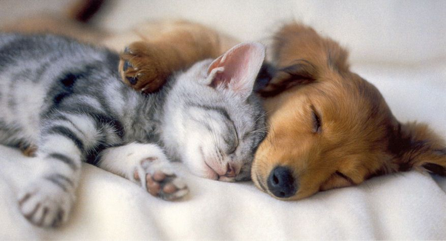 Cute Kitten And Puppy Sleeping Together Cute Animals Kittens
