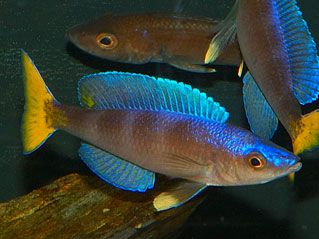 """cyprichromis leptosoma - ~6"""" Tanganyikan open water cichlid. many beautiful color variations"""