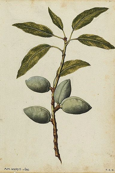 Jacques Le Moyne de Morgues Almond Plant 1575