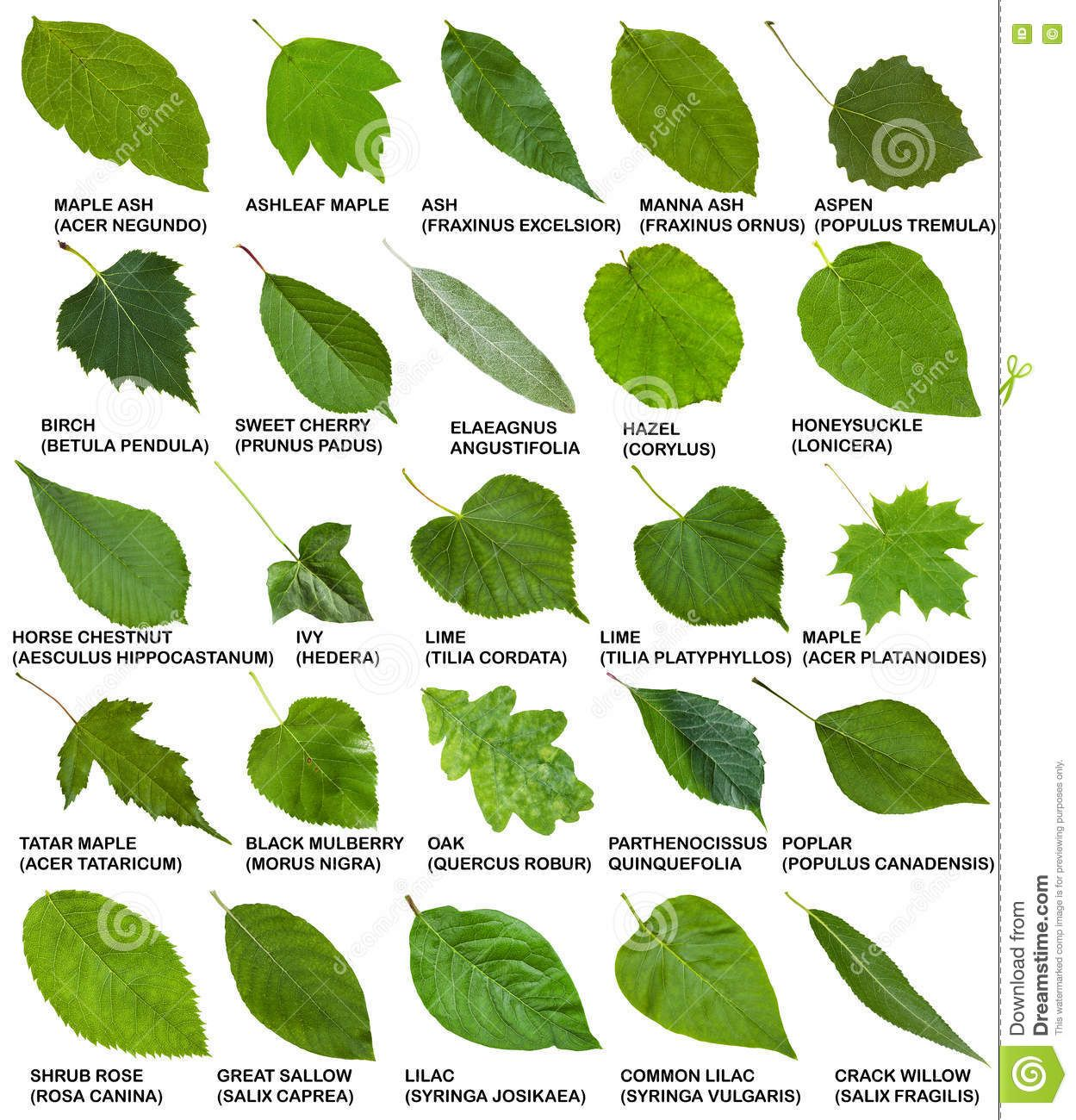 Green Leaves Of Trees And Shrubs With Names Stock Image