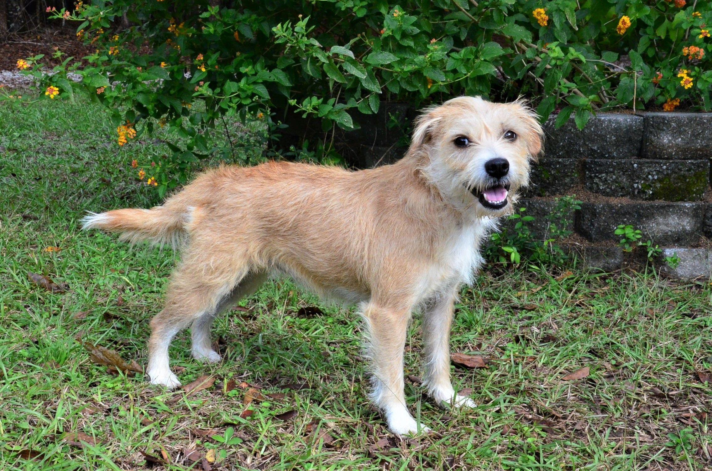Adopt Tatum on Terrier mix dogs, Cute puppies, Willingboro