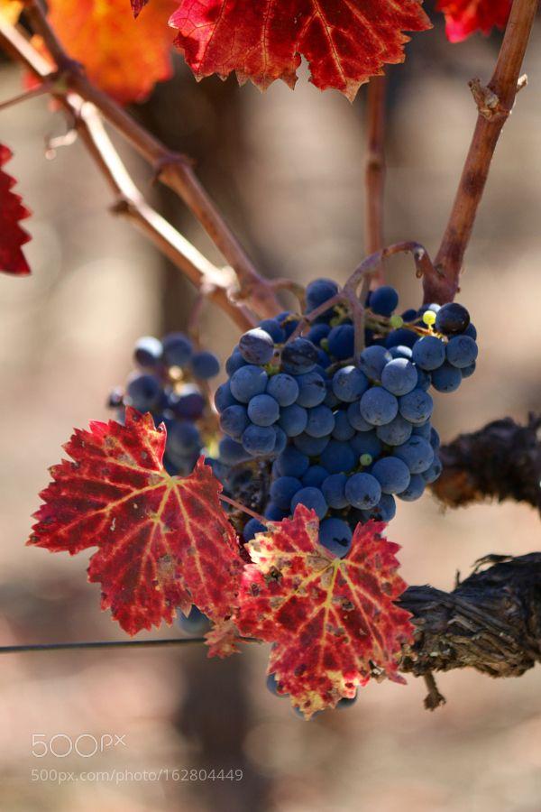 Napa grapes by geenaalejandro