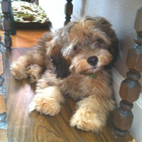 I want this cockapoo baby!!