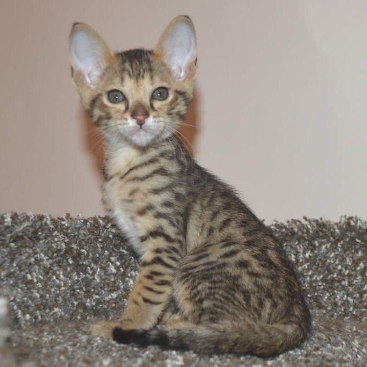 Pin About Savannah Kitten And Savannah Kittens For Sale On Savannah Kittens Pictures
