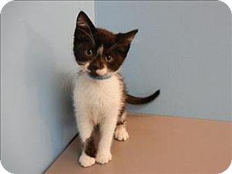 Portland Or Domestic Shorthair Meet Carlos A Kitten For