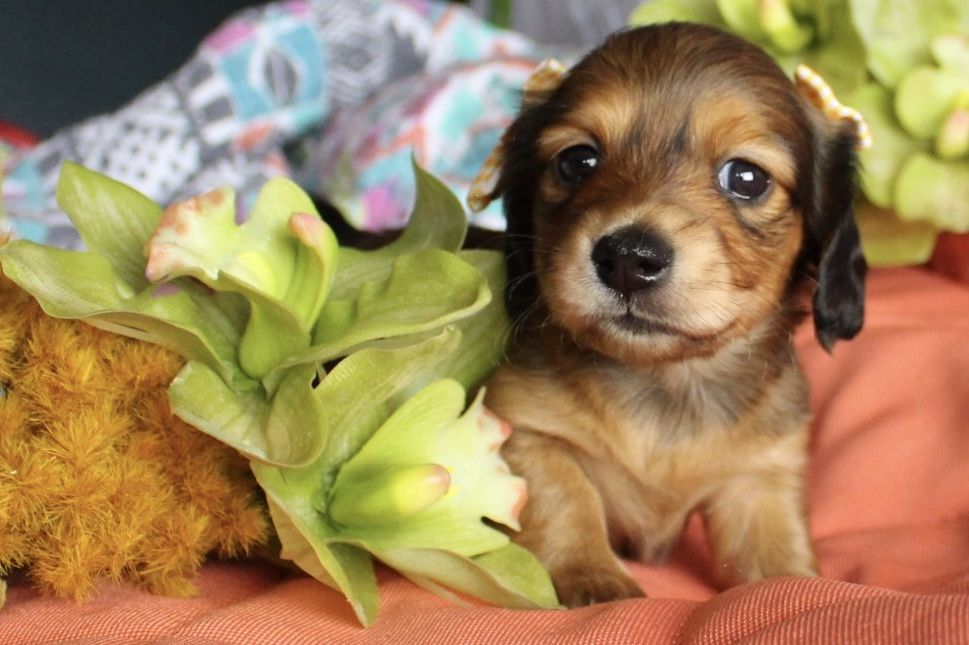 Shaded Red Longhair Miniature Dachshund Puppies For Sale