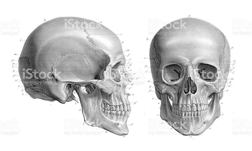 Resultado de imagem para cranio humano anatomia | 1 - Anatomia ...