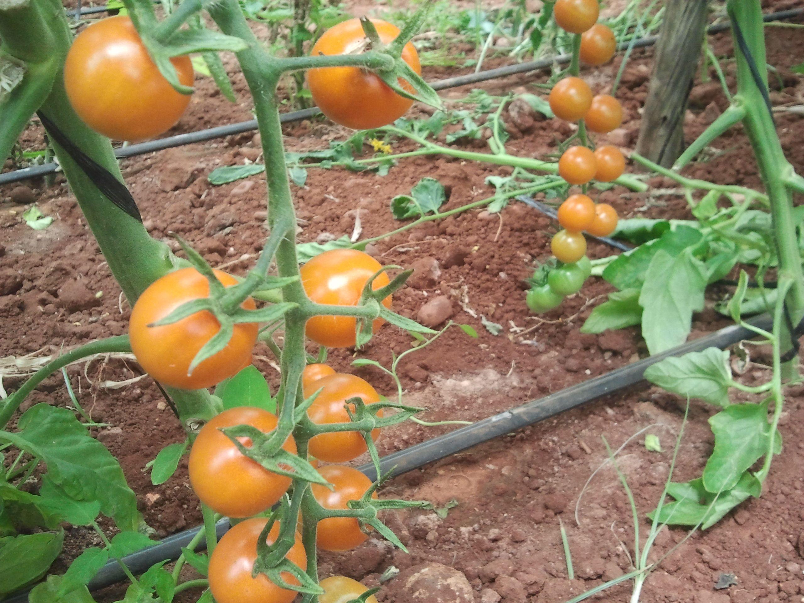 Tomate Cherry Sungold Sungold Es Un Cherry Mas Pequeñito Que Los Normalmente Conocidos Es Un Tomate Originario De Japon Tomates Cherry Tomate Color Naranja