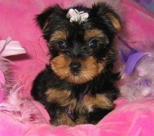 Two Cute And Adorable Yorkie Puppies For Adoption Yorkie Puppy For Sale Yorkie Puppy Yorkie Dogs