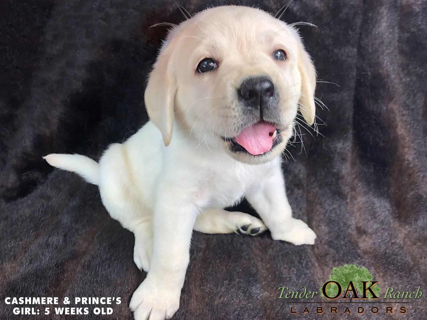 Labrador Puppies For Sale In San Diego Labrador Puppies For Sale Labrador Puppy White Labrador Puppy