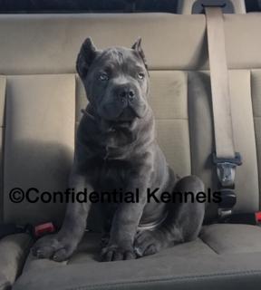 Confidential Kennels Cane Corso Puppies Puppies Cane Corso