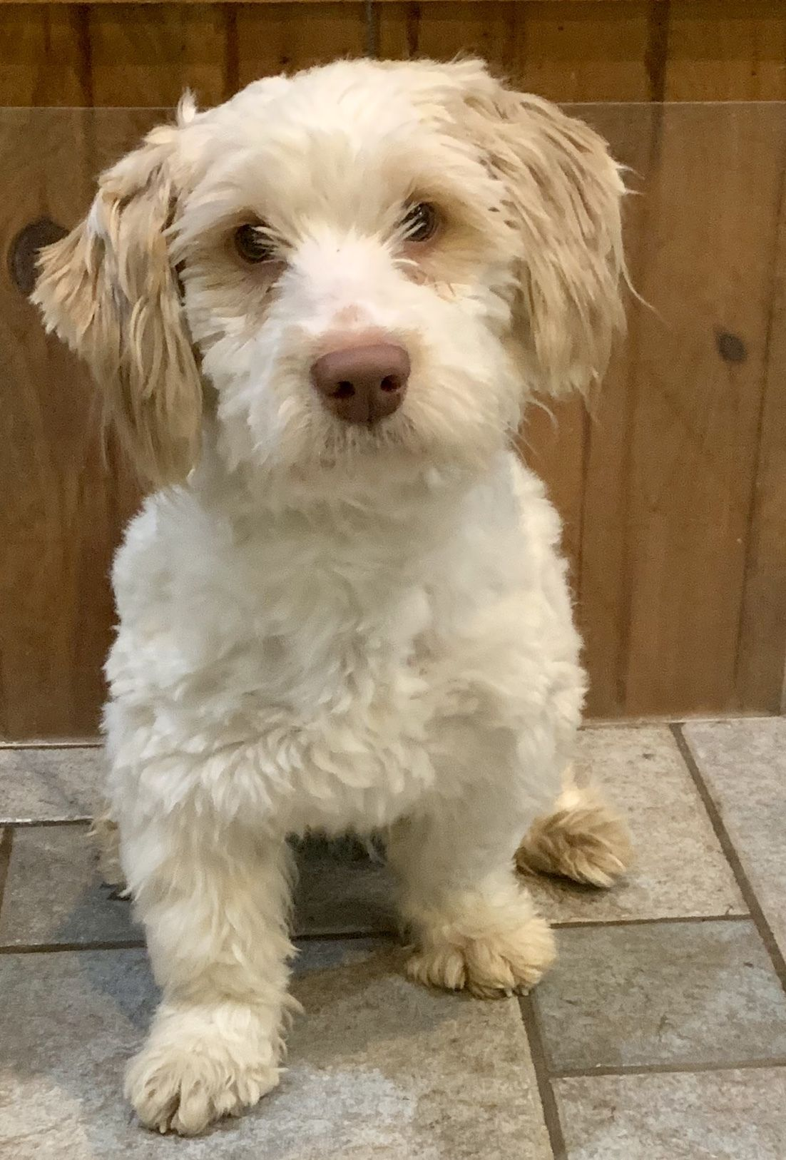 Adopt Dutch Danza On Petfinder Poodle Mix Dogs Dog Adoption Poodle