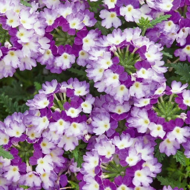 Tarhaverbena Dark Violet