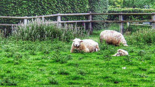 Sheeps dans le jardin de Claire 20140530_165057_2
