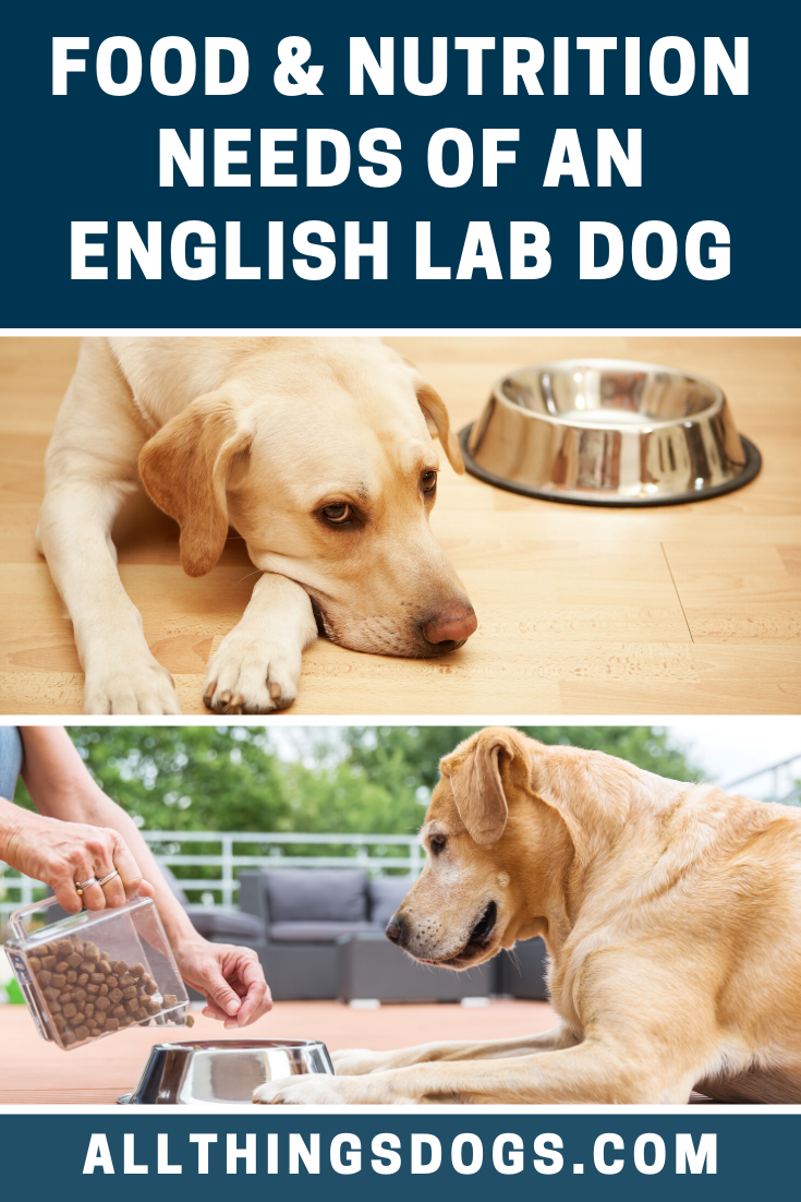 Labradors Are Known To Be Very Unfussy Eaters If It Hits The Floor Your English Labrador Dog Will Have Gobbled It Up Before In 2020 Lab Dogs Dogs English Lab Puppies