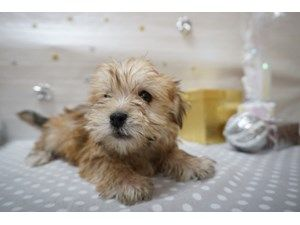 Available Puppies Petland Racine Dogs For Sale Puppies Dogs