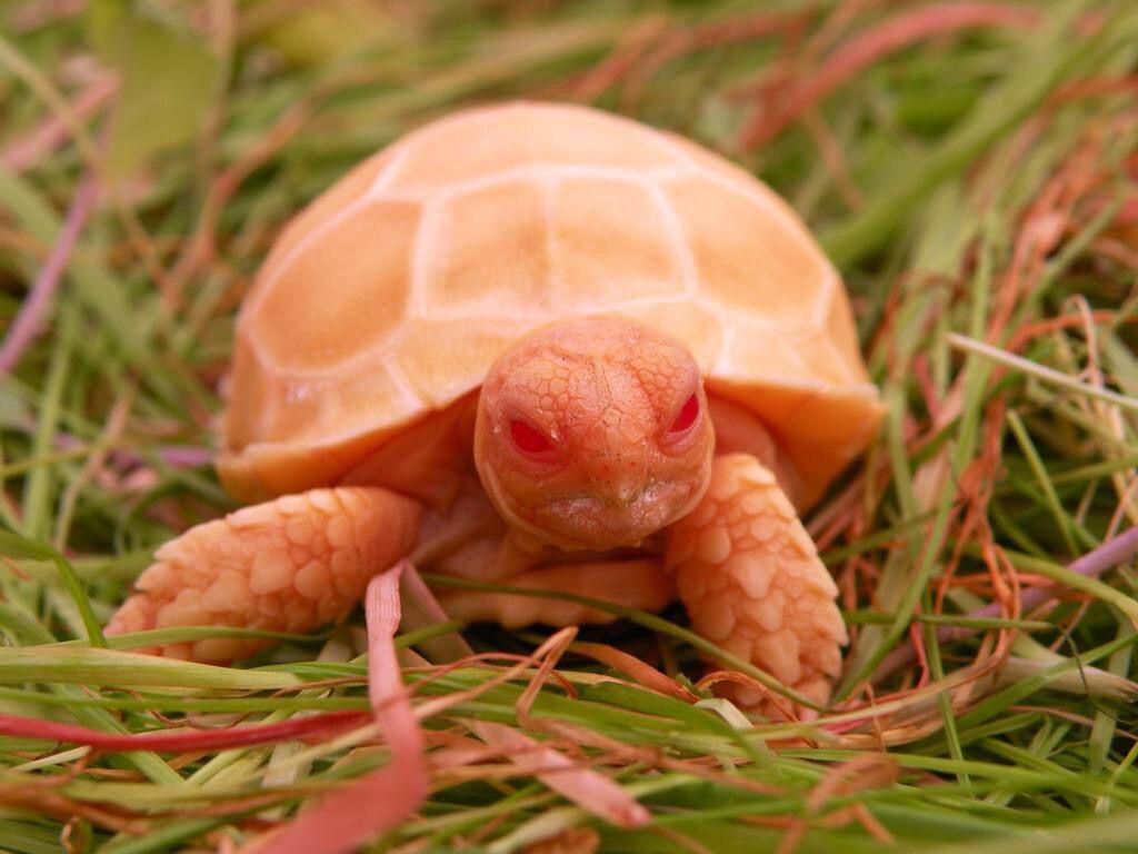 Albino Surcata Tortoise.