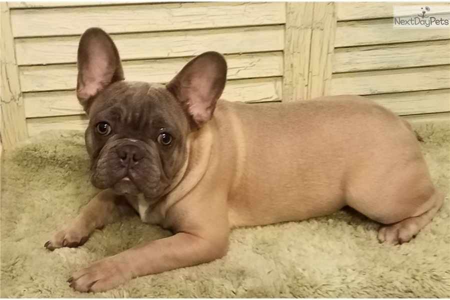 Shiner Bock Is A Blue Fawn He Is Akc All Shots Microchip Blue