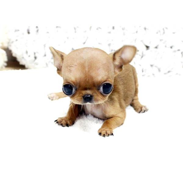 Bug Eyed Cuteness Baby Chi Cute Baby Animals Baby Chihuahua