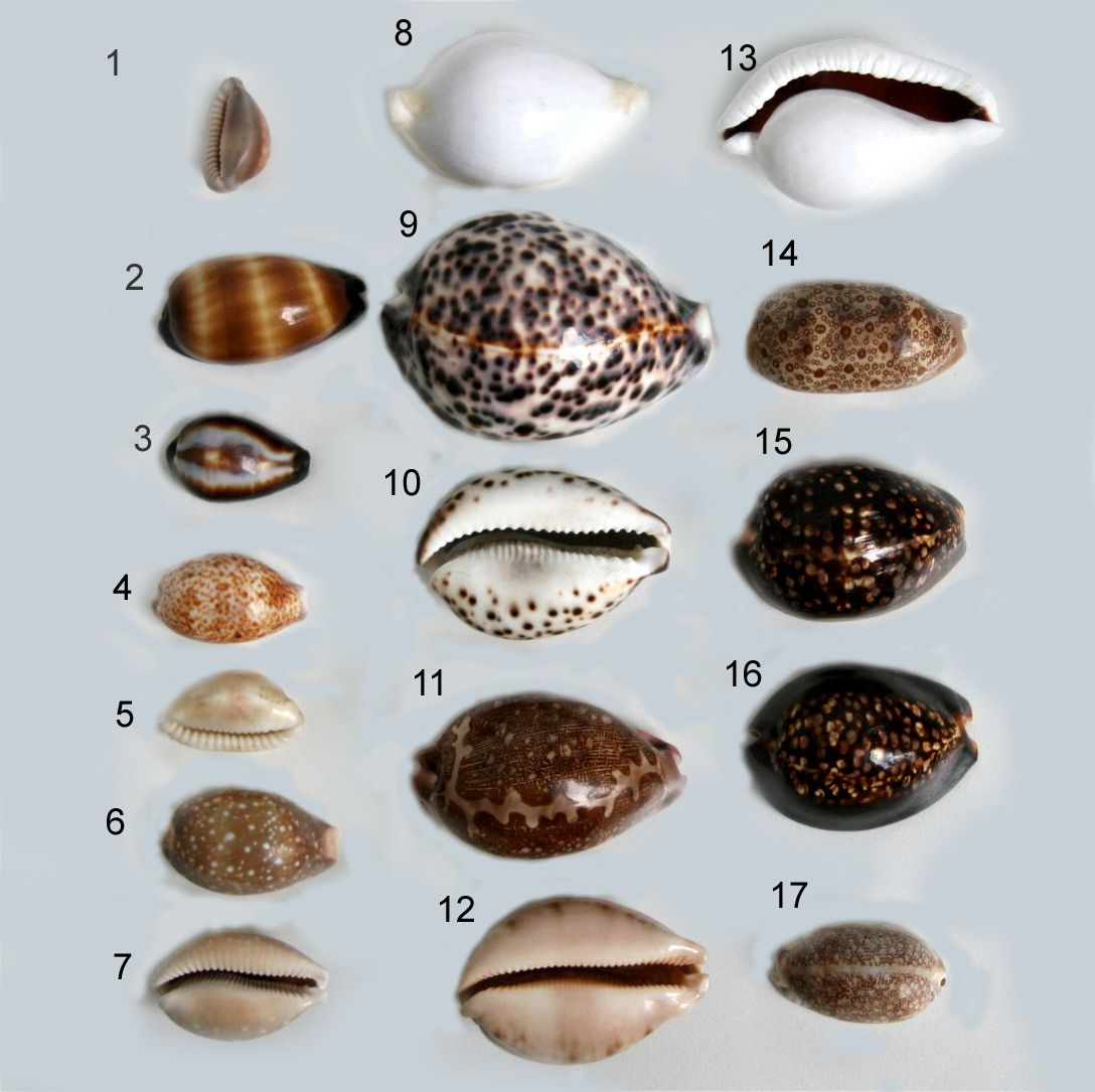 Monetaria Moneta Common Name The Money Cowry Is A Species Of Small Sea Snail A Marine Gastropod Mollusk In Shells African Art Projects Family Reunion Crafts [ 1085 x 1088 Pixel ]