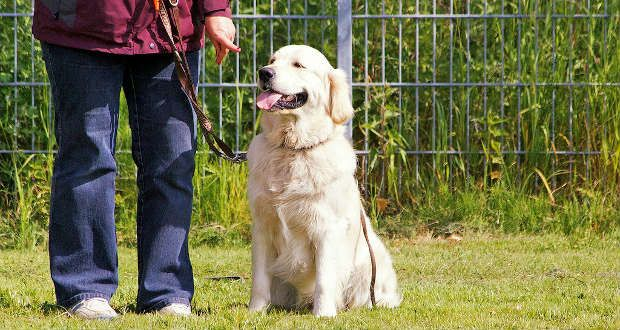 Golden Retriever Training 7 Things You Need To Know Dog