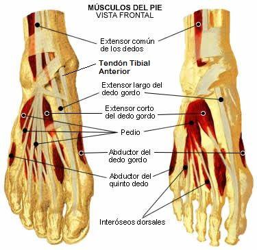 musculos del pie | anatomia | Pinterest | Músculos, Anatomía y ...