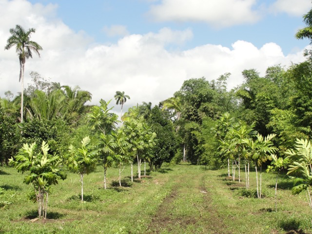 Breadfruit Orchard Breadfruit Is An Excellent Tree In Traditional