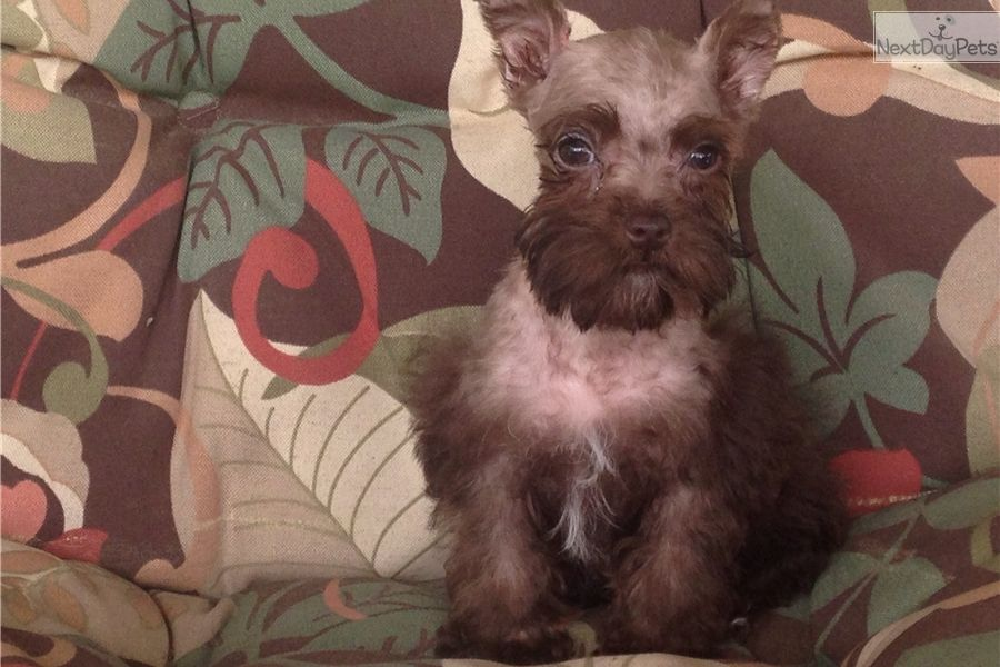 I Am A Cute Schnauzer Miniature Puppy Looking For A Home On Nextdaypets Com Miniature Puppies Schnauzer Puppy Mini Schnauzer Puppies
