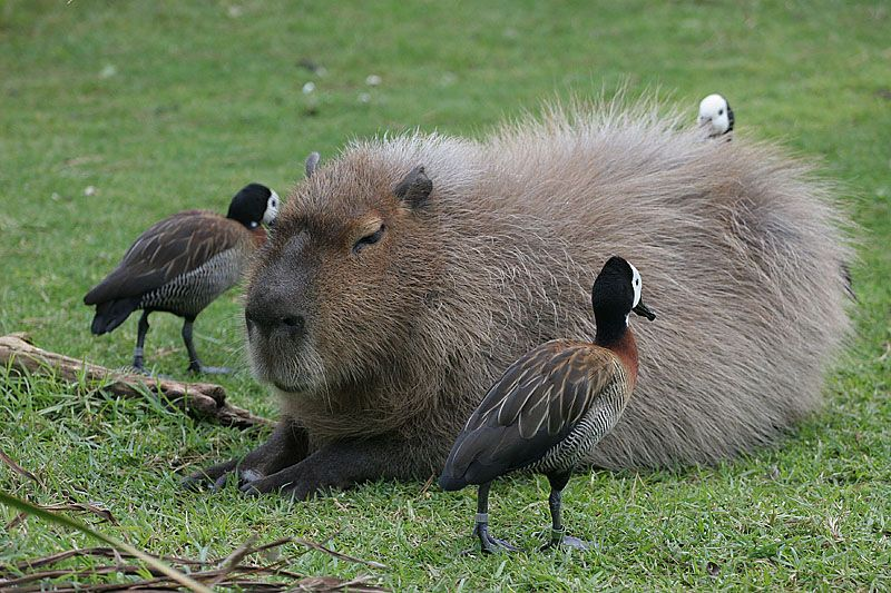 The capybara is the largest rodent in the world. Wikipedia