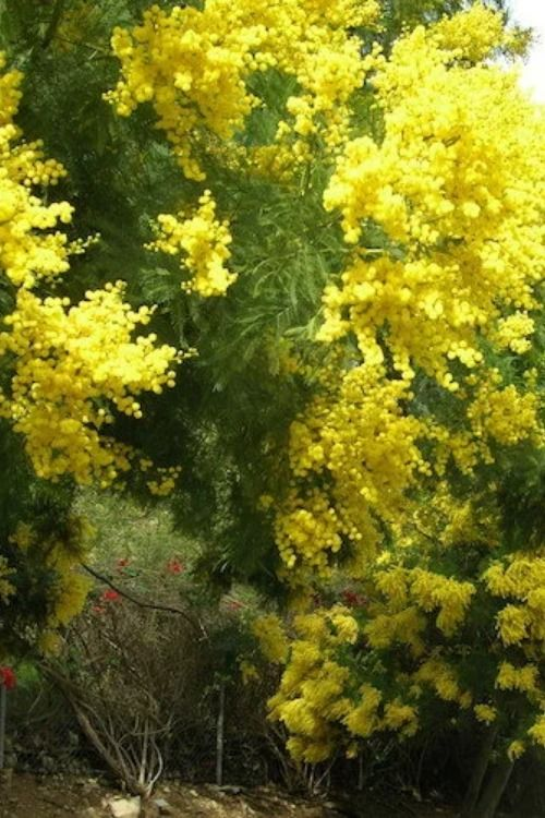 Mimosa Absolute Acacia Decurrens 15 00 340 00 Pure Products Mimosa Homemade Perfume