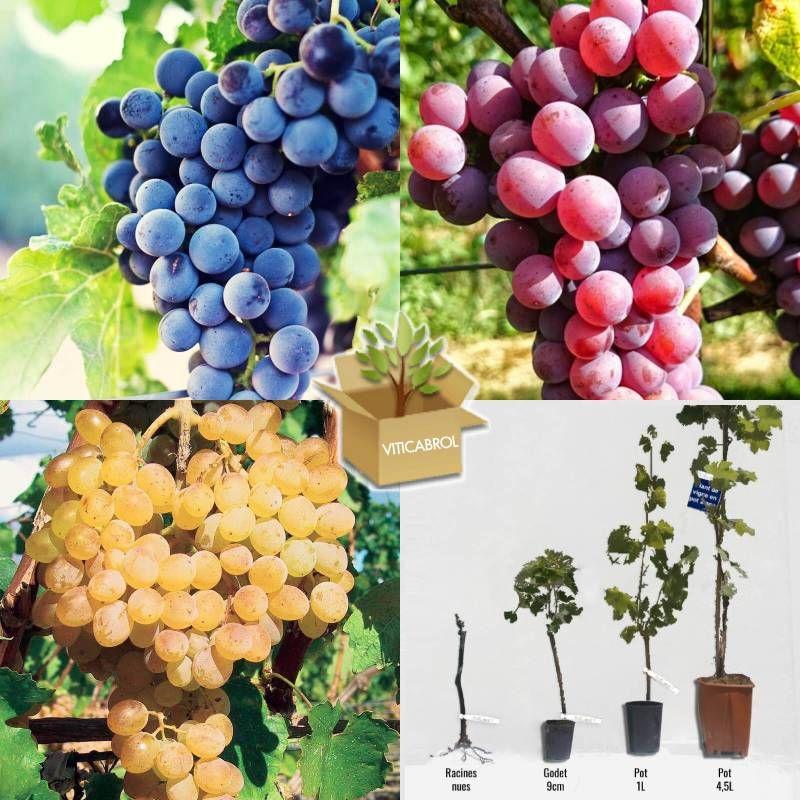 Epingle Sur Plants De Vigne
