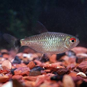 Red Eye Tetra Tropical Fish For Freshwater Aquariums Freshwater Aquarium Fish Tropical Fish