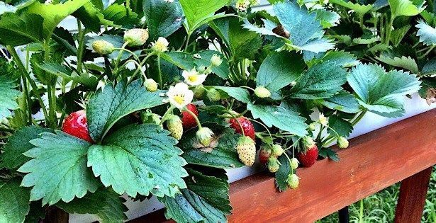 Grow is easy! This simple how-to explains everything you need to know about growing sweet hydroponic strawberries, indoors or outdoors. is easy! This simple how-to explains everything you need to know about growing sweet hydroponic strawberries, indoors or outdoors.
