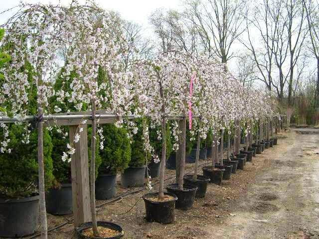 How To Prune A Weeping Cherry Tree Weeping Cherry Tree Flowering Cherry Tree Cherry Tree
