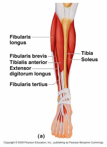 Tibialis Anterior Muscle Diagram Collection Of Wiring Diagram