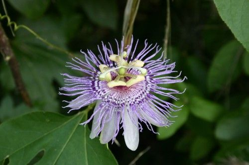 Passion Flower Maypop Jelly Passion Vine Passion Flower Vines