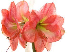 Flore de l'île de la Réunion: L'amaryllis | Amaryllis ...