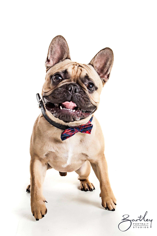 Hello Stanley French Bulldog Portrait Photography Inspiration