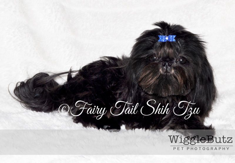 Reggae Solid Black Male Tiny Teacup Imperial Shih Tzu Puppies For Available For Sale At Fairytailshihtzu Com Imperial Shih Tzu Shih Tzu Shih Tzu Puppy